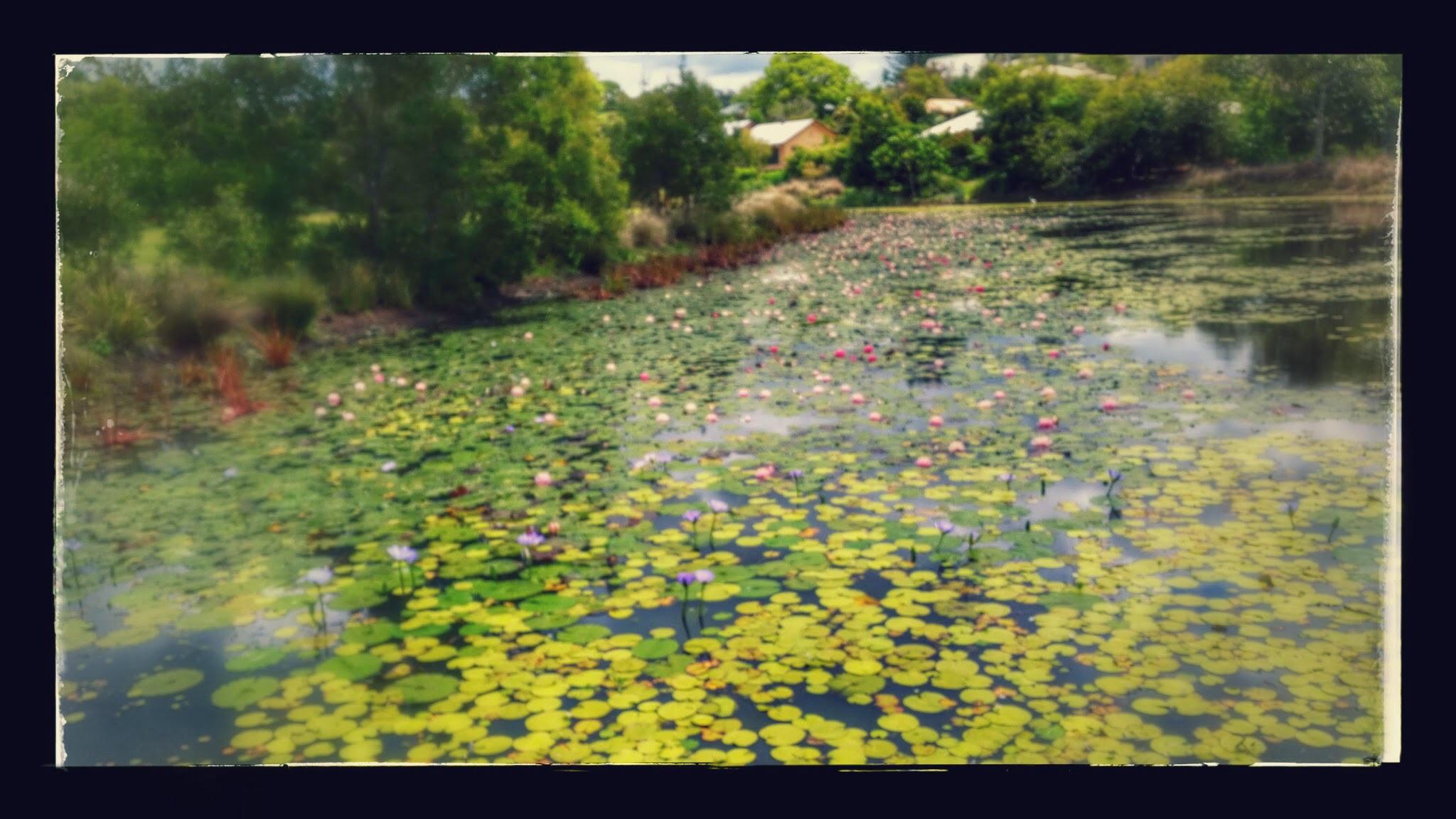 Pretty Water Lilies