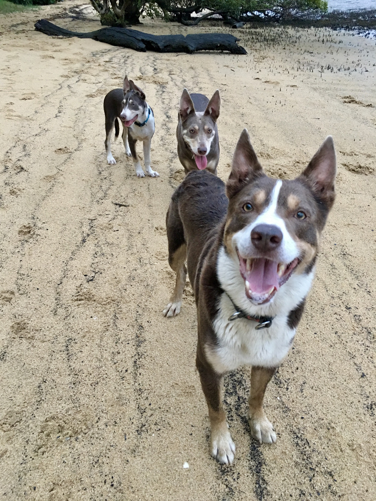 My silver kelpie family from Discussing Dissociation